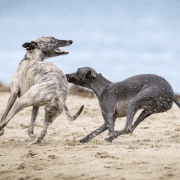 Two dogs chasing Rock-Paper-Scissors Tag Game. Credit Mark Galer