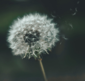 Dandelion in the wind, reflecting the origin of Traffic Jam group initiative