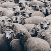 Flock of sheep representing how to form random teams. Photo credit: Christopher Bruns