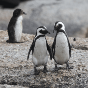 Two penguins standing side by side to illustrate how to form random pairs. Photo credit: Pam Ivey