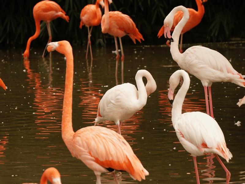 Flock of flamingos wondering how to pick a partner. Photo credit: Yiting Shen
