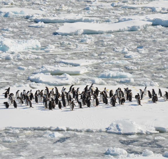 Large group of penguins showing how to grab your group's attention
