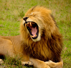 What to do with dominant people like a lion. Photo: Lemuel Butler