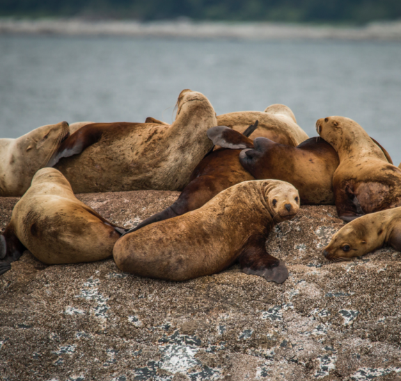 Sea lions on rock to keep your group's attention