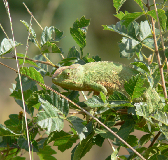Green chameleon with strategies to adapt to green tree leaves. Credit: KP Bodenstein