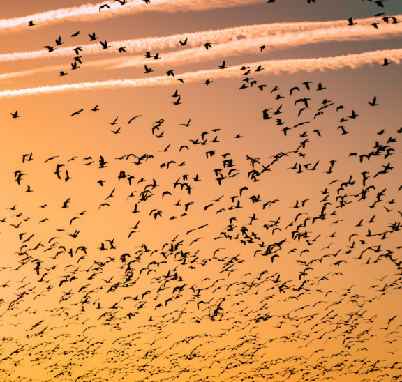 How to work with large groups, flock of bird flying. Credit Farth Bailey