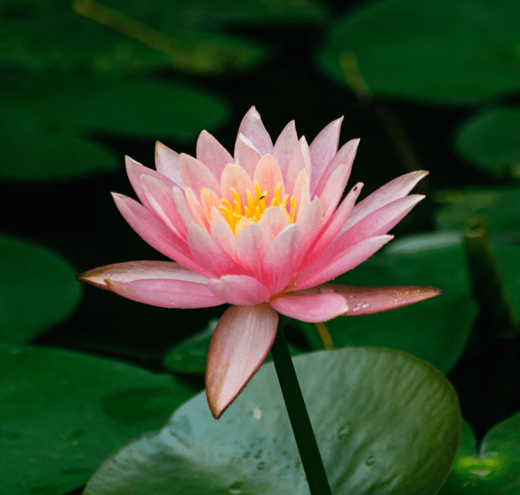 Lotus flower in pond reflecting new wellness programming attributes of playmeo