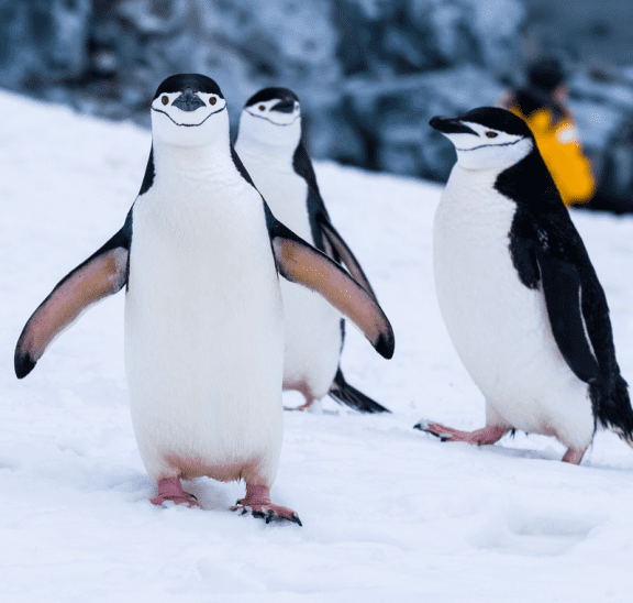 Small group games of three penguins. Credit Derek Oyen