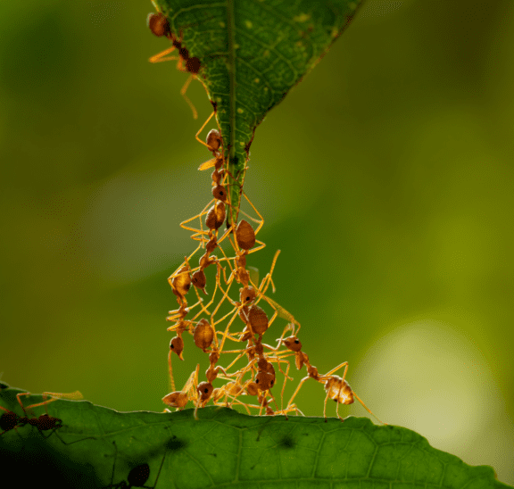 Ants climbing a leaf showing that politicis lives downstream from culture